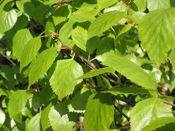 feuilles de bouleau